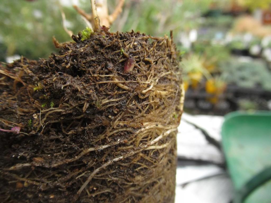 宿根フロックスの地下茎