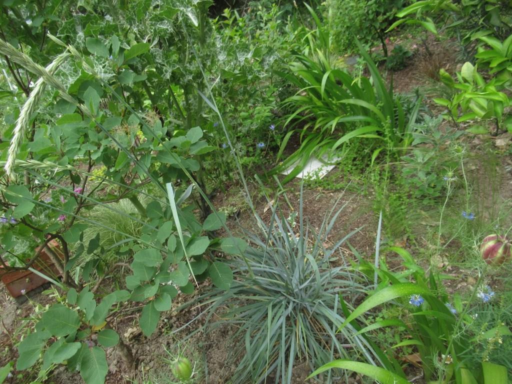 エリムスの花茎は1mほどの高さになります。