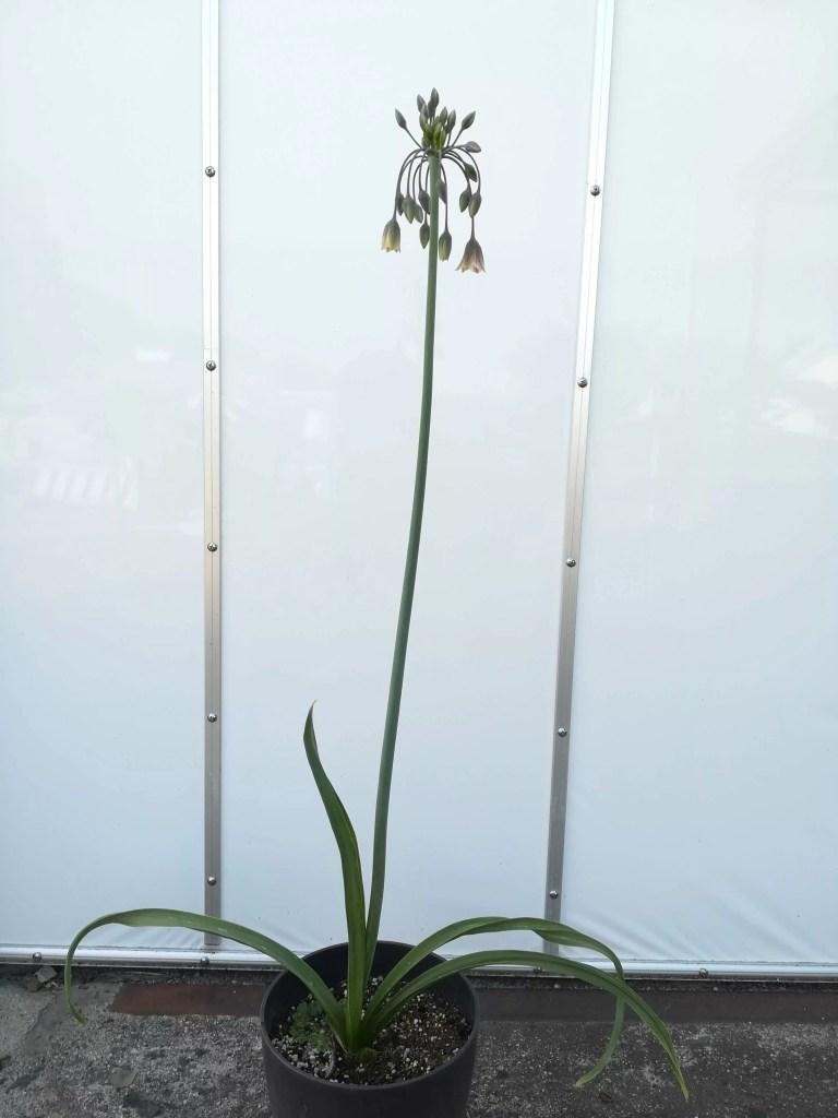 アリウム シクラムの花茎の長さ