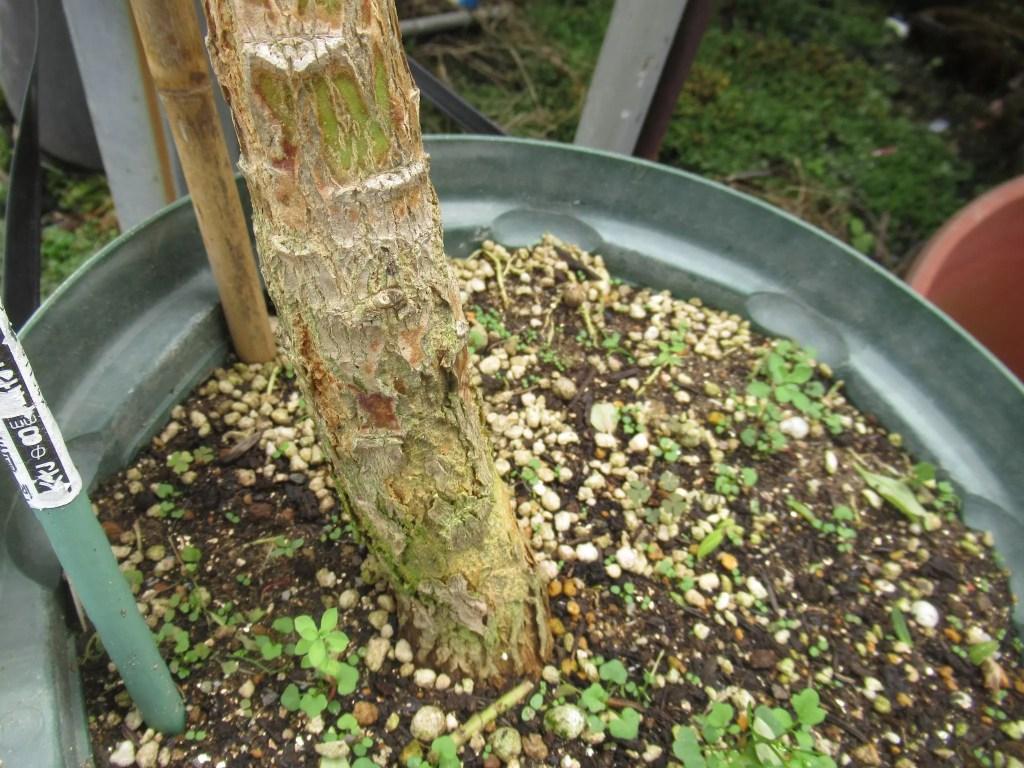 木質化したロベリア
