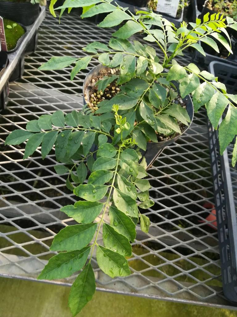 種まきから約1年経過したカレーレーフの苗。