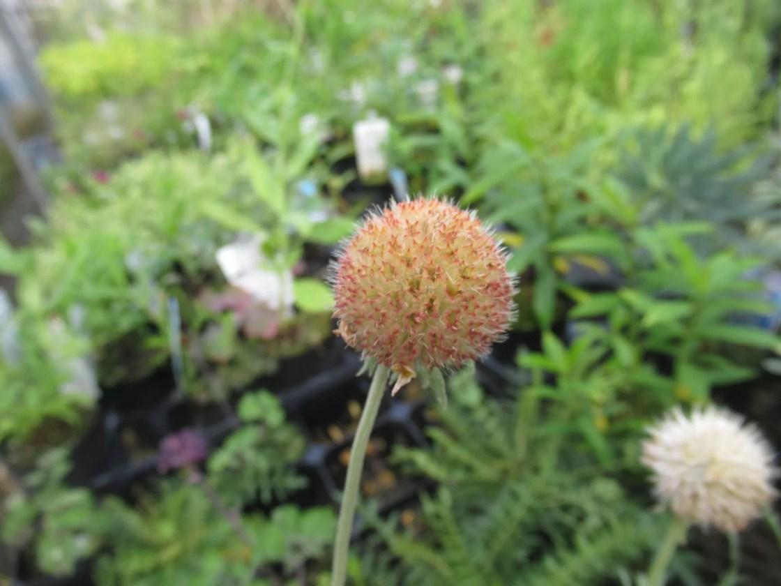 ガイラルディア ピナティフィダの花が無くなった様子。
