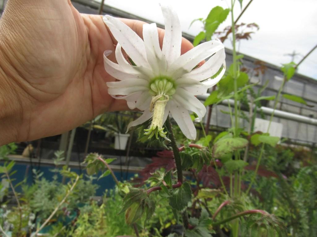 白くて大きい花