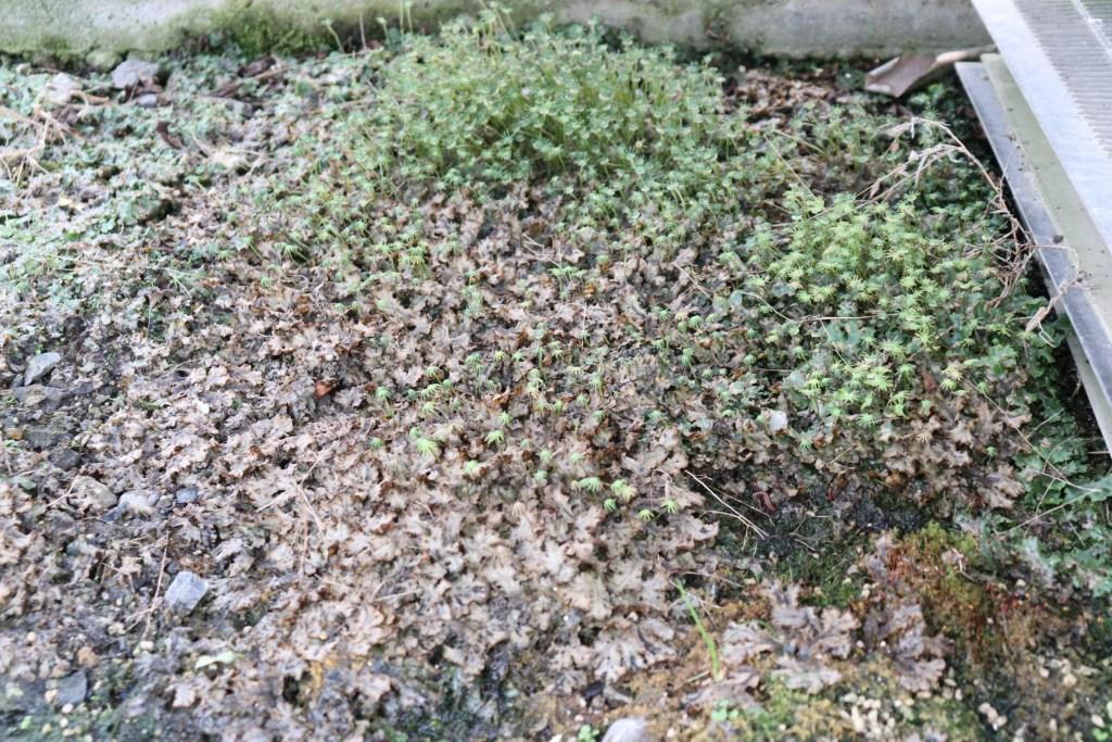 除草剤で枯れたゼニゴケ