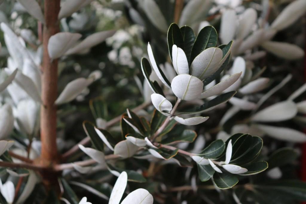 コーストバンクシアの葉