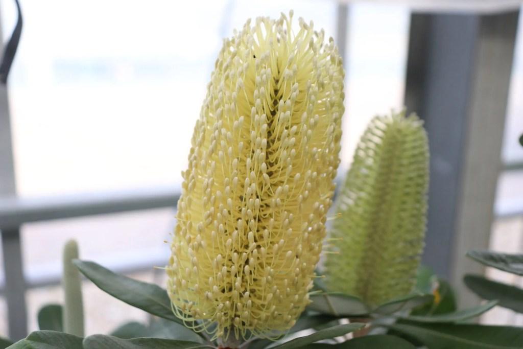 コーストバンクシアの花