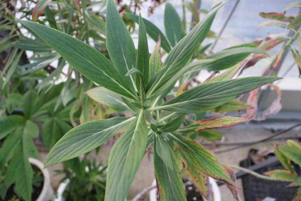 エキウム ネルボスムの葉