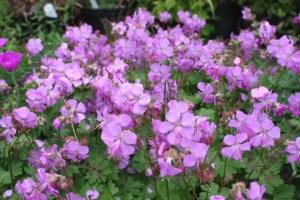 geranium×cantabrigiensecambridge
