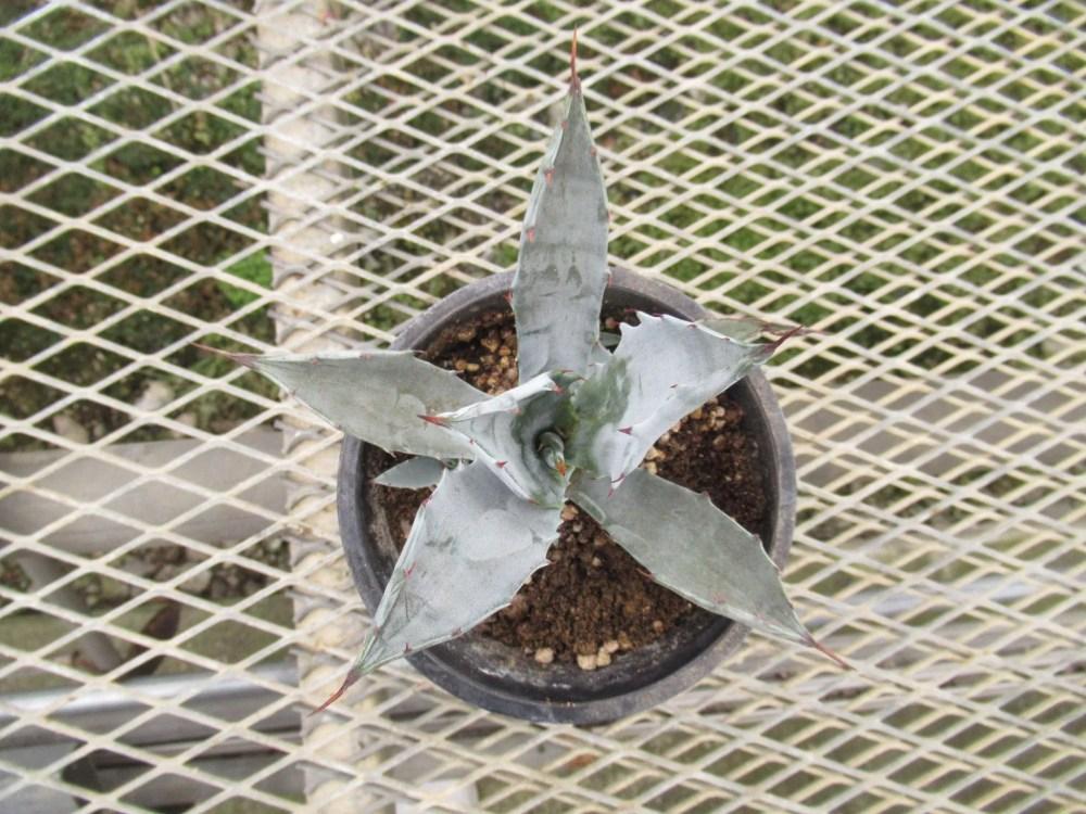 agave003