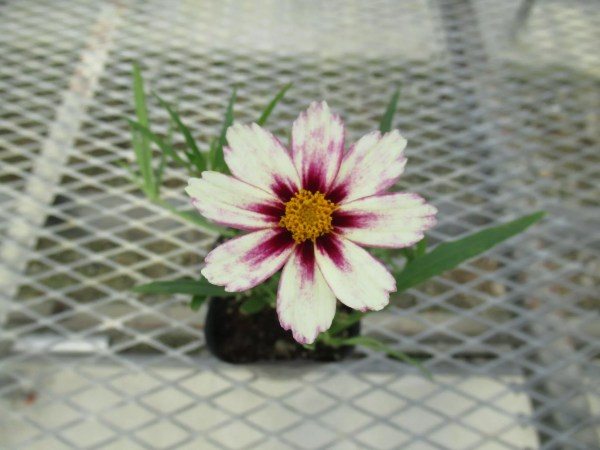 coreopsis004