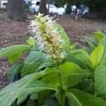 テンニンソウ ゴールドエンジェルの苗を販売しています。