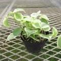 斑入りのペペロミア セルペンスの苗を販売しています。