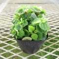ペペロミア グリーンバレーの苗を販売しています。