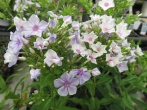 宿根フロックス エンディングブルーの初夏の花色。