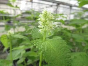 アガスタシェ ルゴサ アルバの苗を販売