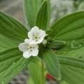 日本ムラサキの開花画像です。