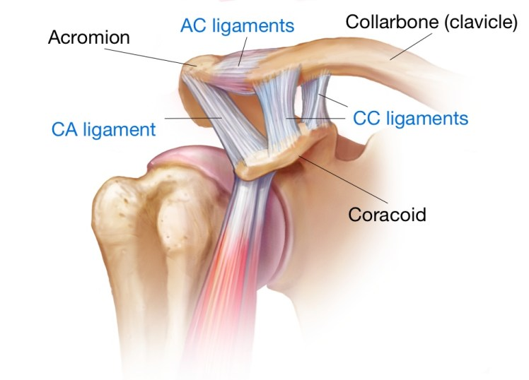 acromioclavicular-and-coracoclavicular-ligaments