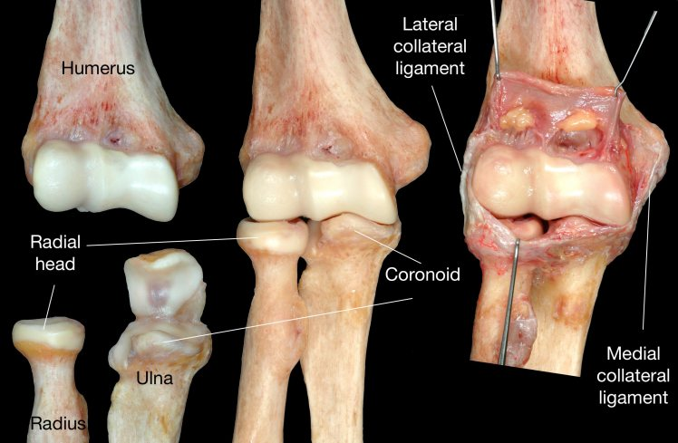 Elbow bones and ligaments.jpg