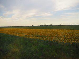 Sunflowerfields Serbia
