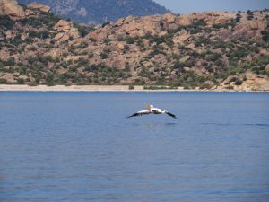 Lake bafa Pelican