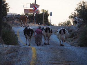 lake bafa cows