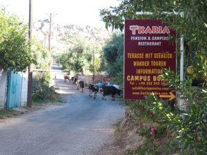 Karia pension cows bafa lake kapikiri