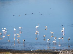 Flamingo's at lake bafa