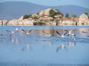 Lake bafa flamingo's