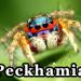 peckhamia link picture