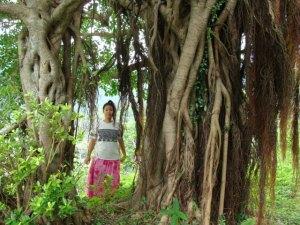 奄美大島南部・古仁屋のゲストハウス「昭和荘」近くのガジュマルの樹