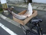自転車の荷台に積んだ生魚