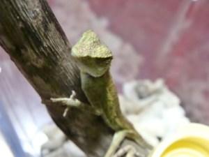奄美大島南部・油井岳園地(油井岳展望台)で発見したキノボリトカゲ