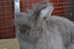 можно ли давать кроликам топинамбур
