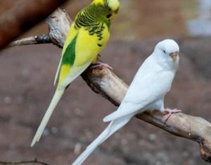 попугай волнистый уход и содержание в домашних условиях