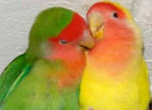 попугай прячет клюв в спину
