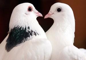 приметы и суеверия про птиц - голубь
