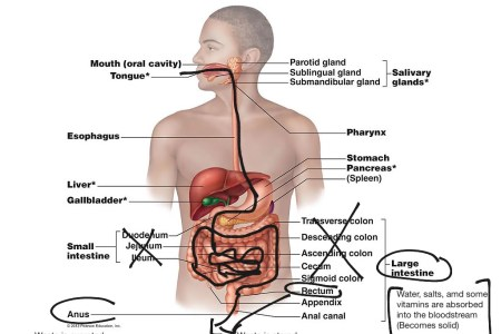 Labeled diagram of digestive system path decorations pictures enchanting unlabeled digestive system diagram ideas human anatomy digestive system diagram for coloring introduction to electrical digestive system diagrams ccuart Image collections
