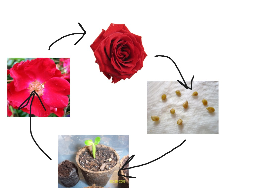 Life Cycle Of A Rose