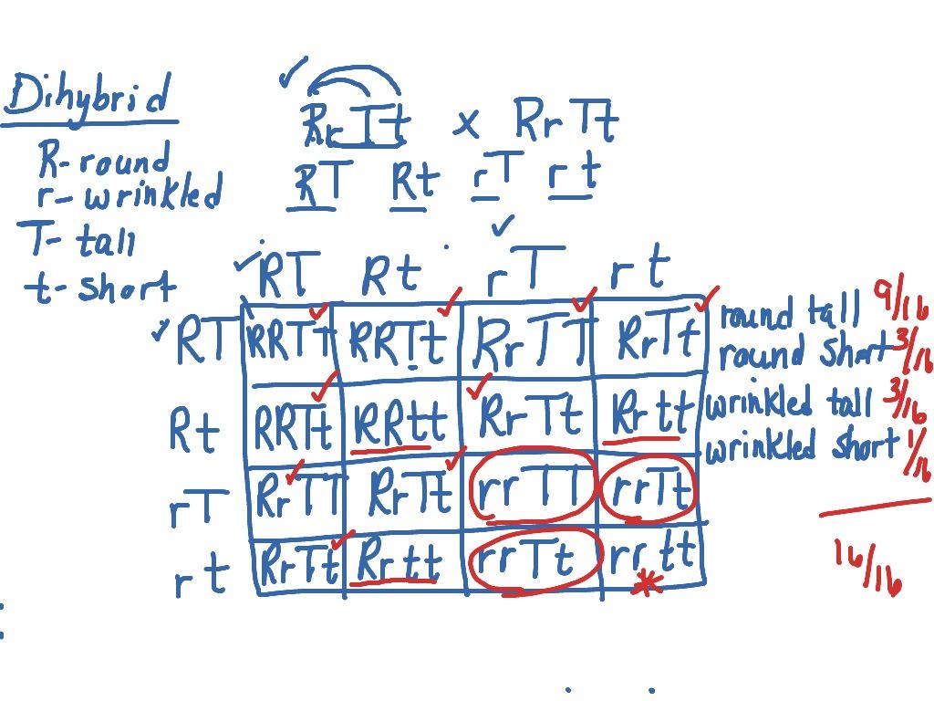 Worksheet Monohybrid Crosses Worksheet Worksheet Fun