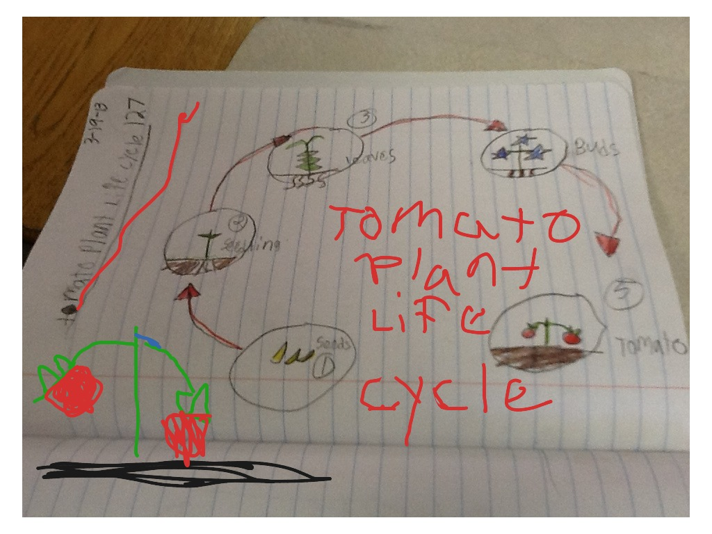 Tomato Plant Life Cycle Zachary