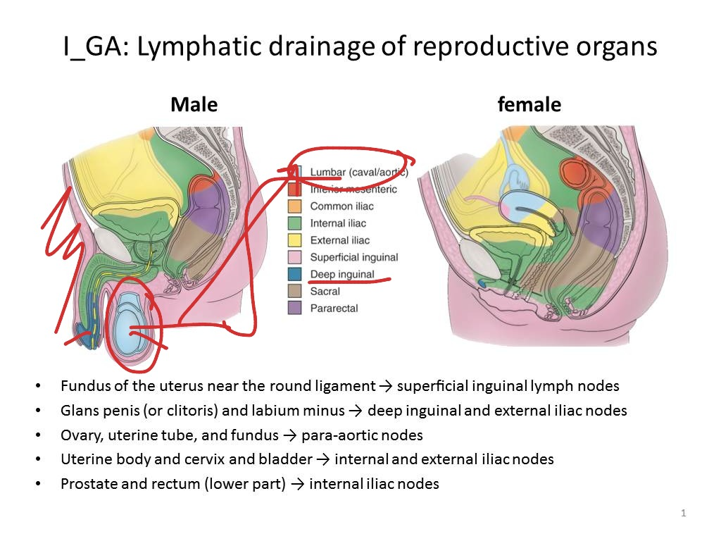 Lymphatic Drainage Of The Reproductive Organs