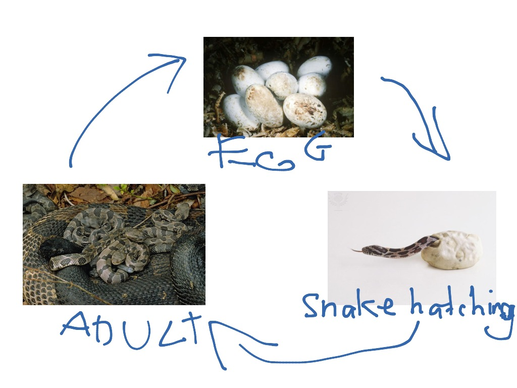 The Life Cycle Of A Snake By Jack