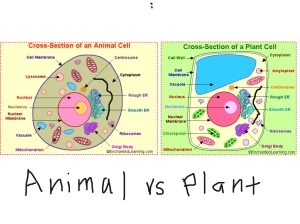 Plant cell vs animal cell | ShowMe