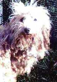 Matted dog at a Missouri puppy mill