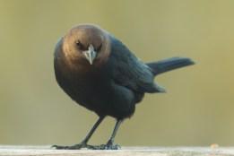 Brown-headed Cowbird. Molothrus ater. Canon 5D III, 2.8 70-200, 2x III. F 5.6, 1/200, ISO 800, 400 mm.