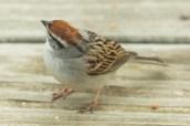Chipping Sparrow. Spizella passerina. Canon 5D III, 2.8 70-200 mm, 2x III. F 5.6, 1/320, ISO 800, 400 mm.