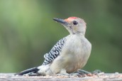 Red-bellied Woodpecker. Melanerpes carolinus. Canon 5D III, 2.8 70-200 mm, 2x III. F 5.6, 1/160. ISO 1600, 400 mm.