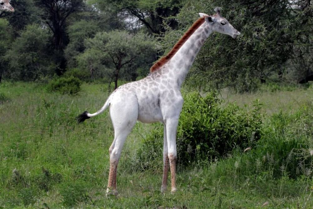 PIC BY DEREK LEE/ CATERS NEWS - (PICTURED: Omo the white giraffe) - Are you having a giraffe? These incredible snaps show a rare WHITE giraffe grazing in the African bush. Omo the white giraffe has been spotted roaming around Tarangire National Park, in Tanzania, along with the rest of her herd  who dont seem to notice her unusual colouring. Ecologist Dr Derek Lee, founder and scientist at the Wild Nature Institute, caught the pale giraffe on camera. Derek, 45, said: Omo is leucistic, meaning many of skin cells are incapable of making a pigment but some are, so she is pale  but not pure white with red or blue eyes as a true albino would be. SEE CATERS COPY.