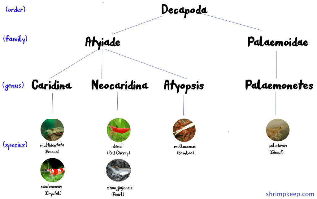 Chart illustrating shrimp species, genuses and families under the Decapoda animal order.