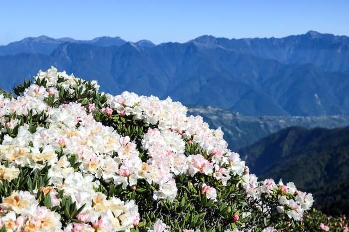 合歡北峰縱看中央山脈雪山山脈 杜鵑花季這樣美